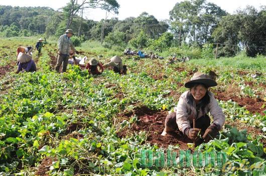 Nông dân Đắk Nông đang thu hoạch khoai.