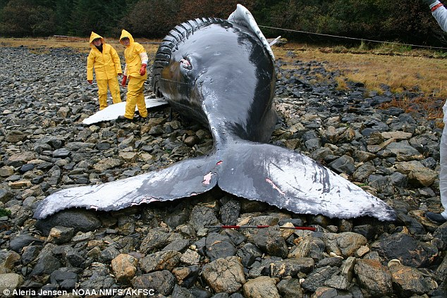 Một chú cá voi lưng gù bị mắc cạn ở Alaska, Mỹ.