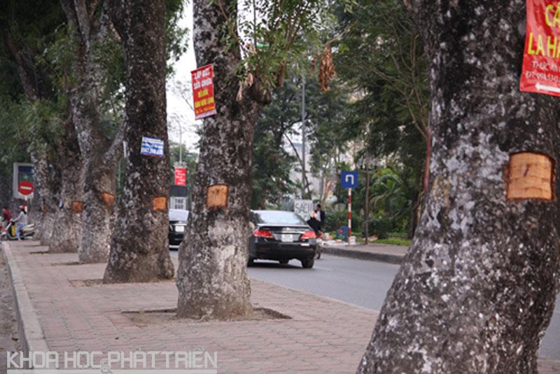 Nhiều cây xà cừ trên đường Láng bị khoét vỏ. Ảnh: Loan Lê.