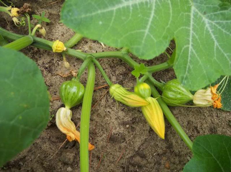 Cách trồng bí đỏ tại nhà cho quả sai, ít sâu bệnh