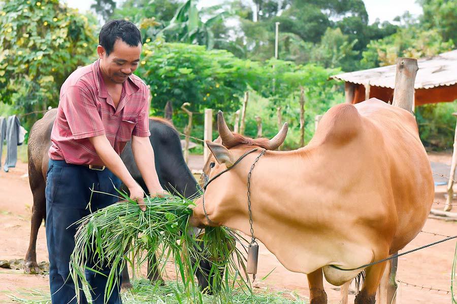 Chăn nuôi bò lai ở huyện Đak Đoa. Ảnh: Tin Tây Nguyên