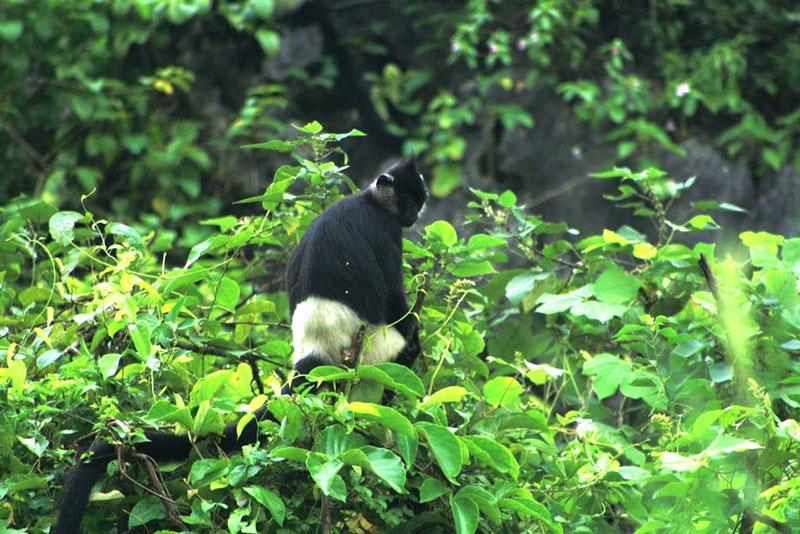 Hiện Vân Long có tới hơn 40 cá thể voọc mông trắng đang sinh sống. Ảnh: Panoramio.