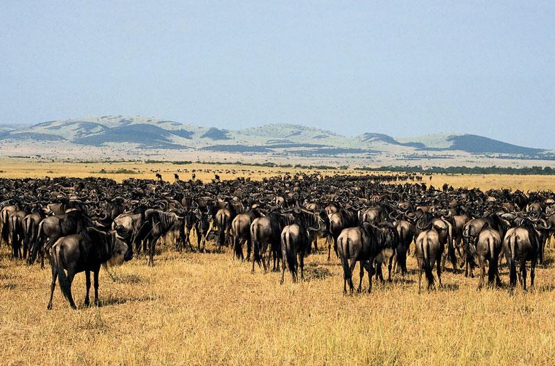 7. Vườn quốc gia Serengeti. Vườn nằm ở phía bắc Tanzania giáp với Kenya và hồ Victoria. Nơi đây nổi tiếng vì có nhiều loài thú như sư tử, cá sấu, có cả ngựa vằn, nhưng đông nhất là linh dương đầu bò. Vườn quốc gia này được UNESCO nhận là di sản thế giới vào năm 1981.