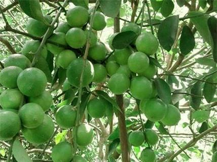 Kỹ thuật trồng cây Chanh không hạt có thể bằng cách gieo hạt hoặc ghép cành. Ảnh minh họa