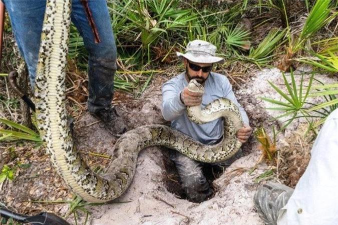Nhà sinh vật học Ian Bartoszek và đồng nghiệp theo dõi trăn Miến Điện ở tây nam Florida.