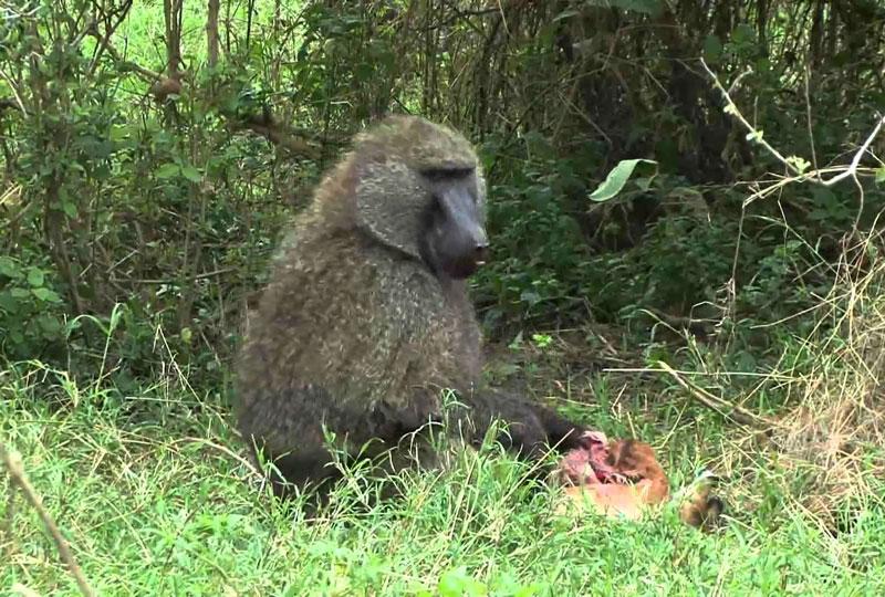 Khỉ đầu chó thưởng thức