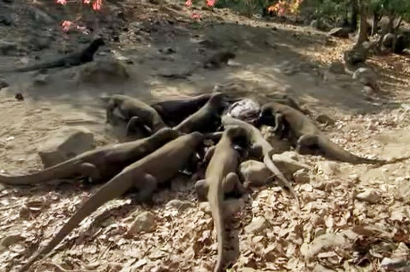 Bầy rồng Komodo xé xác trâu rừng.
