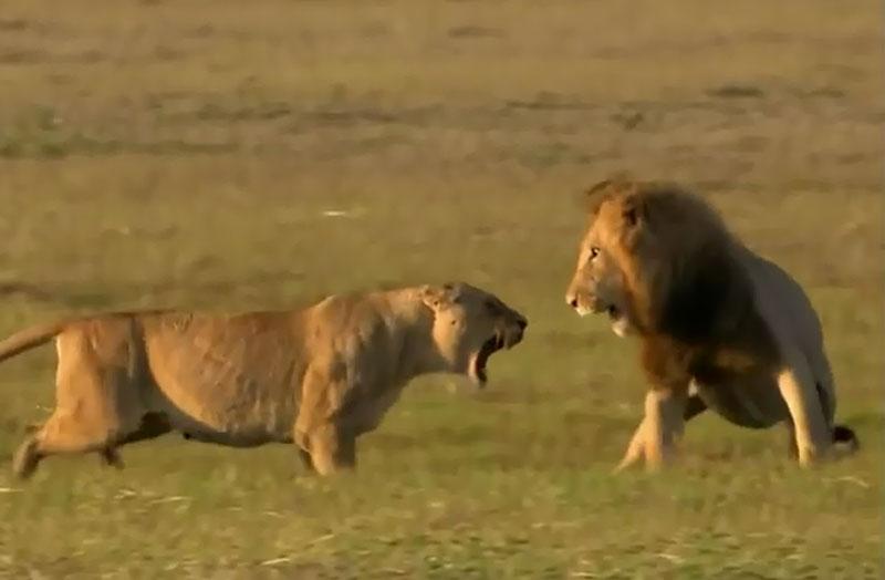 Sư tử cái chiến đấu với sư tử đực.