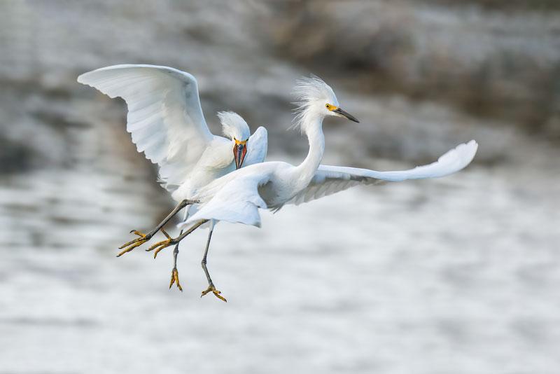 Chúng có bộ lông màu trắng và những cọng lông vũ dài rất đẹp.