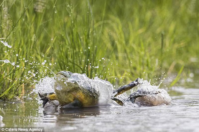 Tuy nhiên, chúng nhanh chóng ngoi lên mặt nước với phong thái của những vận động viên bơi lội chuyên nghiệp.