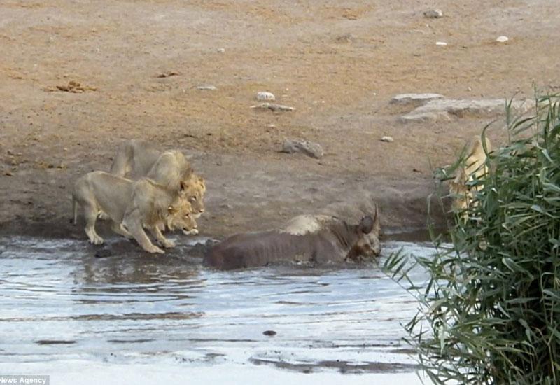 Sư tử vây bắt tê giác.
