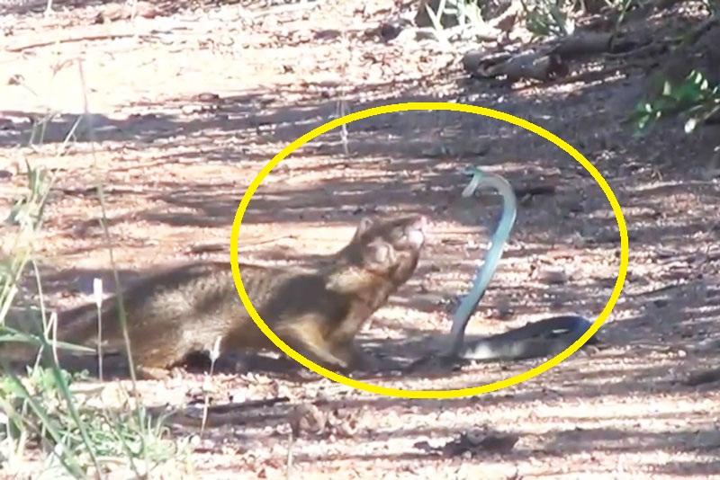 Cầy lỏn chiến đấu với rắn.