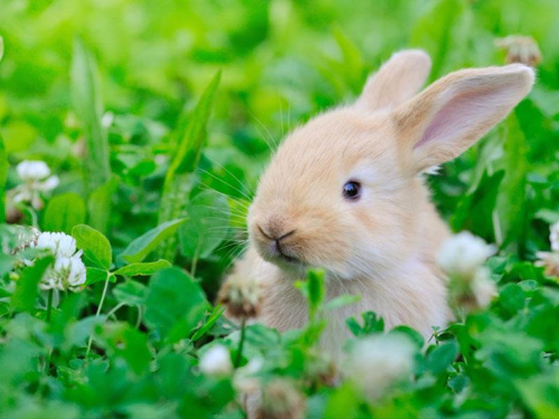Trong khi lai tạo cỏ 3 lá trắng ngăn thỏ tấn công, các nhà khoa học vô tình tạo ra được giống có 3 lá có 4 cánh Ảnh: Shutterstock
