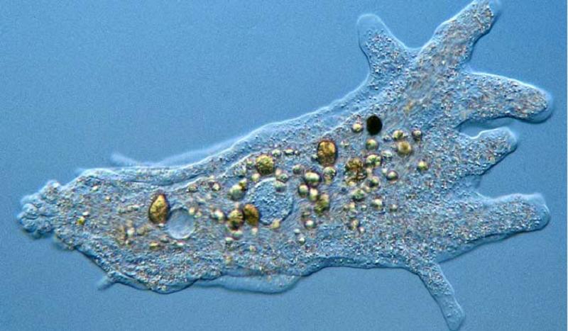 Hình ảnh trên kính hiển vi của Amip.