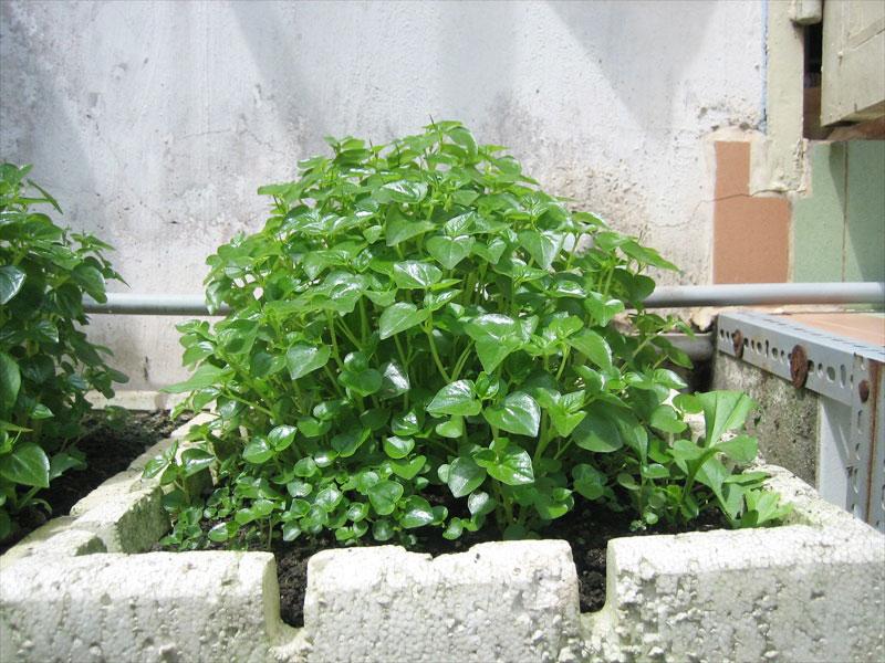 Bụi rau càng cua xanh tốt.