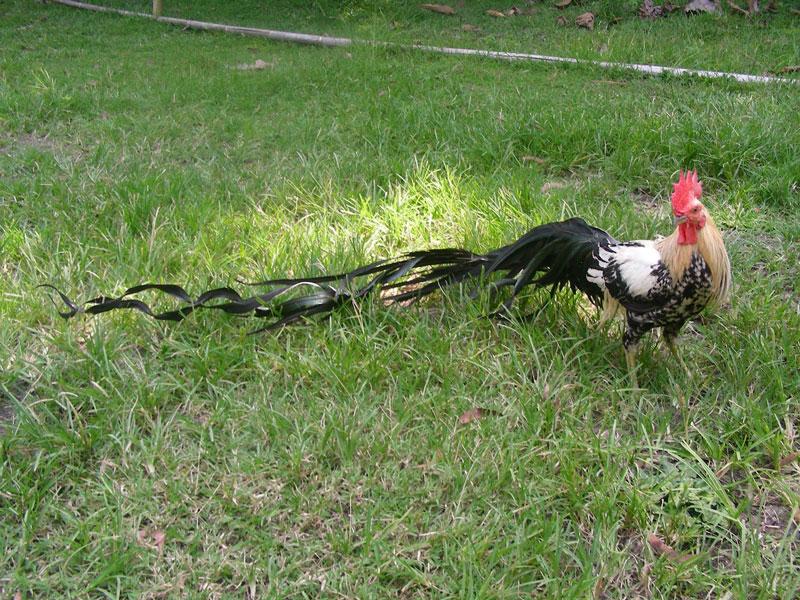 Gà Onagadori (gà đuôi dài Nhật Bản) là giống gà có nguồn gốc từ Nhật Bản, được nuôi để làm cảnh và tham gia trưng bày.