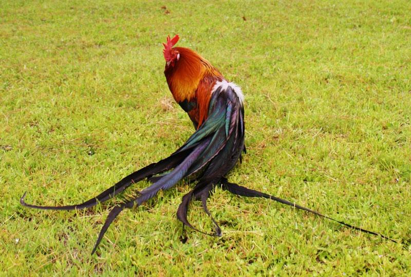 Gà Onagadori trống trưởng thành nặng trụng bình 1,8kg, gà mái nặng 1,35kg.