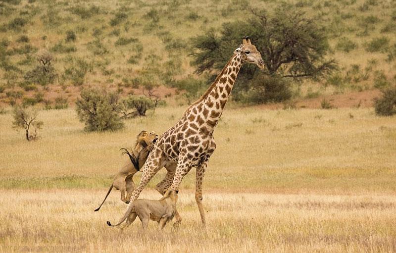 """Phát hiện hươu cao cổ """"đơn thương độc mã"""", 2 con sư tử đực lập tức áp sát con mồi to lớn nhằm kiếm ăn."""