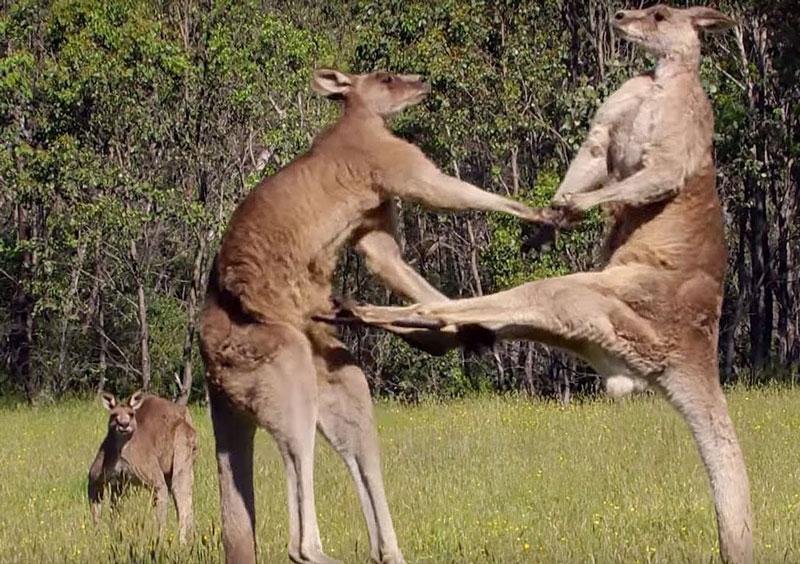 Kangaroo tấn công đối thủ.