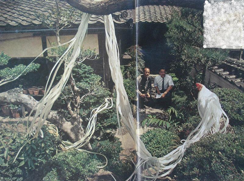 Vào khoảng năm 1965, từng có trường hợp ghi nhận gà Onagadori có bộ lông đuôi dài tới 10,3m.