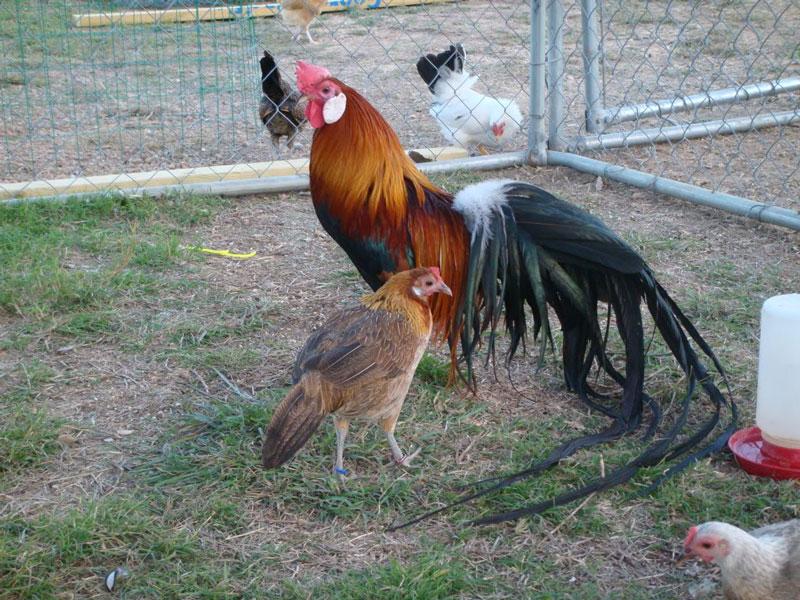 Gà Onagadori mái đẻ và ấp trứng giỏi, nếu nuôi số lượng lớn thì nên ấp nhân tạo và nuôi gà con trong chuồng ấm và khô.