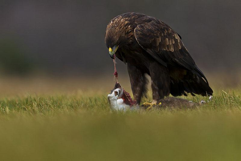 Đại bàng đang thưởng thức thành quả sau chuyến đi săn của mình.