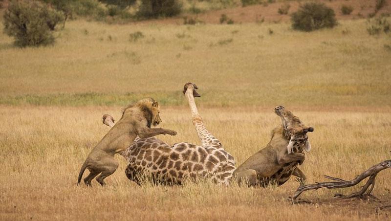 Dù có kiên cường, to lớn tới đâu thì hươu cao cổ cũng phải nộp mạng cho 2 con sư tử đực đói bởi vốn dĩ nó cũng chỉ là động vật ăn cỏ hiền lành.