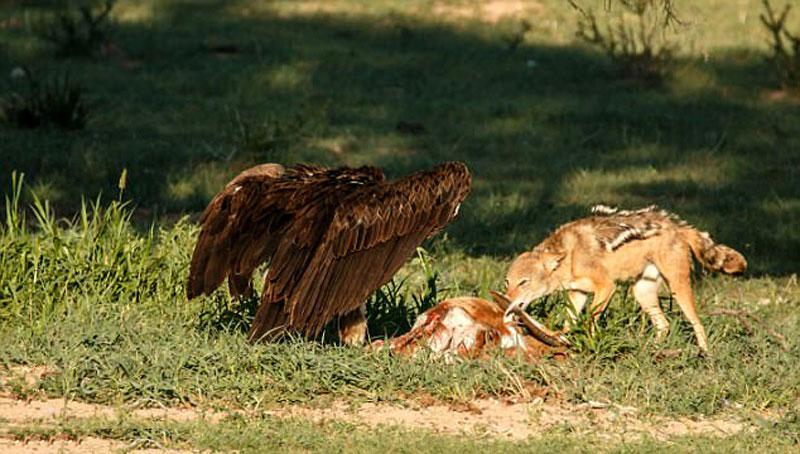 Theo tiết lộ của Toy Engel, chó rừng phát hiện ra xác thối của con linh dương nhảy trước kền kền.