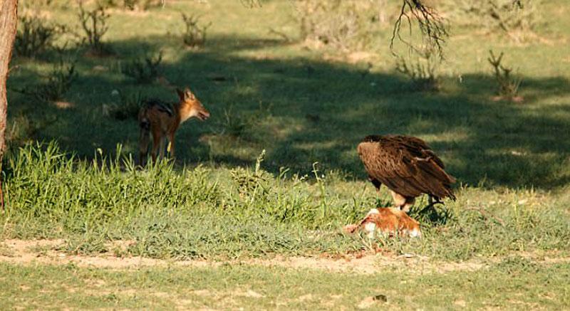 Tuy nhiên, vào phút chót con kền kền đã lật ngược tình thế và đánh đuổi thành công chó rừng để 1 mình đánh chén miếng mồi ngon.