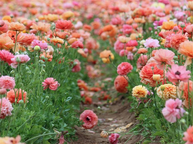 chiem nguong ve dep nhung canh dong hoa mua xuan hinh 9