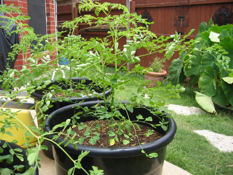 Hướng dẫn trồng và chăm sóc cây chùm ngây trong thùng xốp