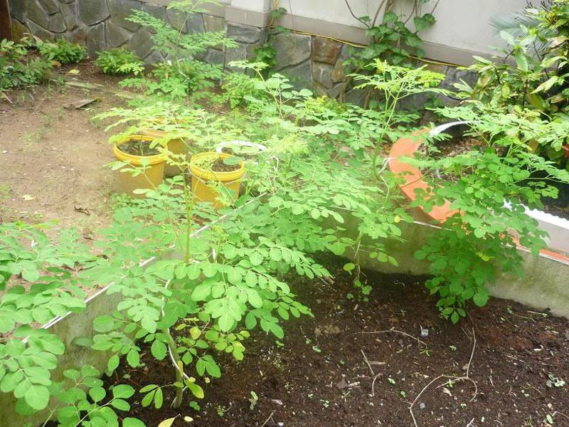 Cây chùm ngây là loại cây hiếm hoi có thể vừa sử dụng cả lá, rễ và quả.