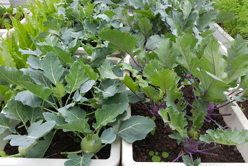 Những hộ gia đình không có nhiều diện tích đất trồng thường chọn trồng su hào trong khay hoặc thùng xốp và đặt trên sân thượng.