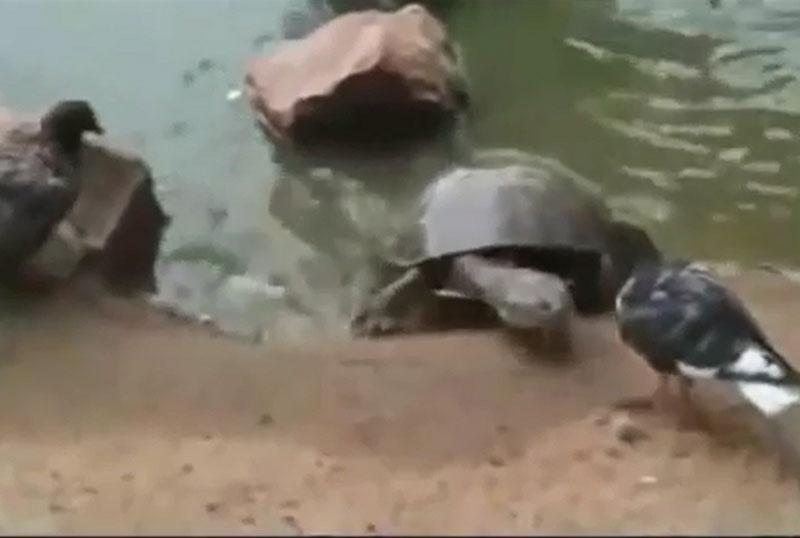 Rùa săn bồ câu.