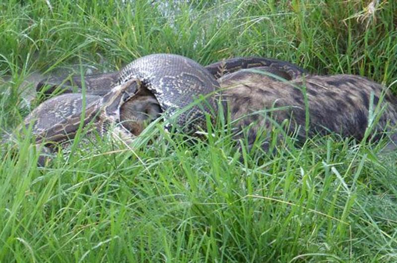 Trăn khổng lồ đang cố nuốt chửng con linh cẩu.