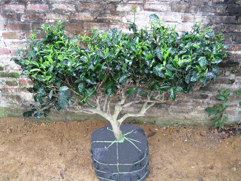 Rất nhiều người chọn trồng cây chè xanh vừa làm cảnh, vừa sử dụng.