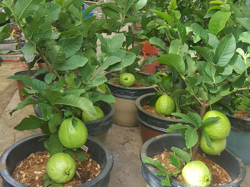 Nhiều người chọn trồng ổi vừa làm cây cảnh, vừa thu hoạch trái.