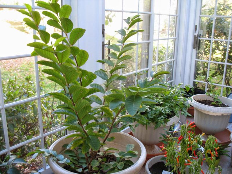 Cây ổi được trồng trên sân thượng.