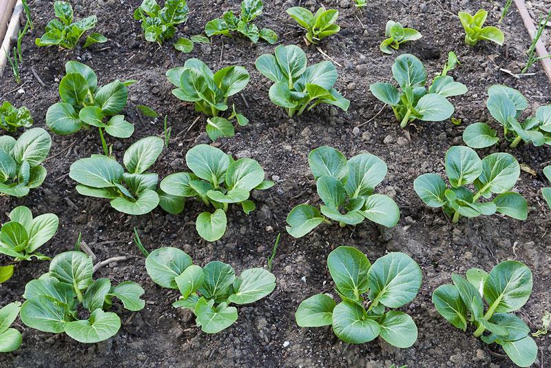 Loại rau này không được trồng phổ biến ở Việt Nam. Tuy nhiên, nó lại rất giàu dinh dưỡng và dễ trồng.