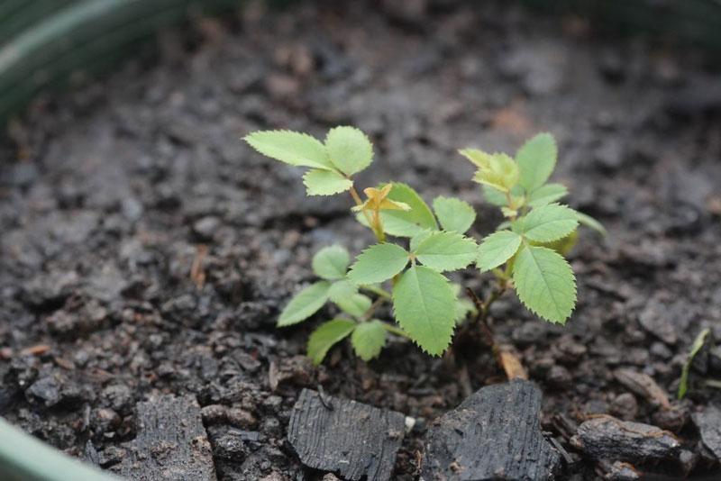 Cây giống hoa hồng được trồng bằng hạt.