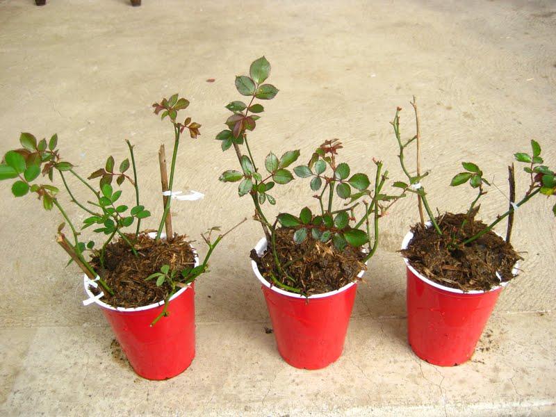 Hoa hồng khá dễ trồng và không tốn nhiều công chăm sóc.