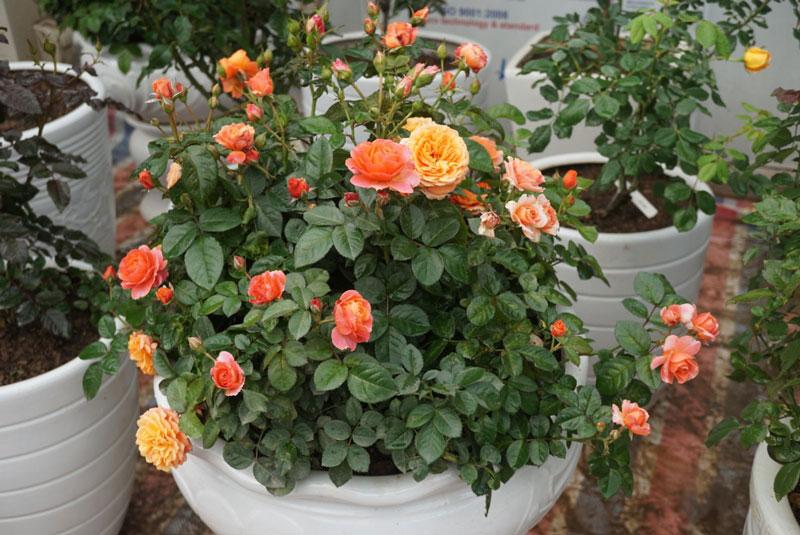 Hoa hồng bắt đầu nở hoa rộ. Ảnh minh họa.