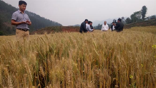 Ngoài giá trị kinh tế, lúa mì đang mở ra tiềm năng du lịch cảnh quan cho huyện Mù Cang Chải
