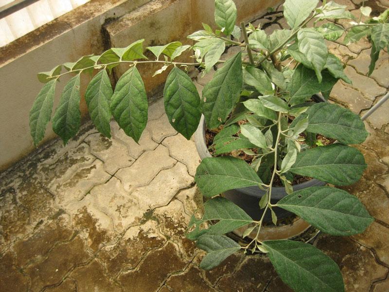 Cây nhót khá dễ trồng và có nhiều tác dụng tốt cho sức khỏe. Ảnh minh họa.