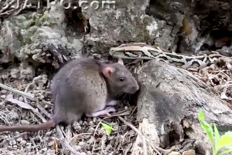 Trăn chuẩn bị bắt chuột.