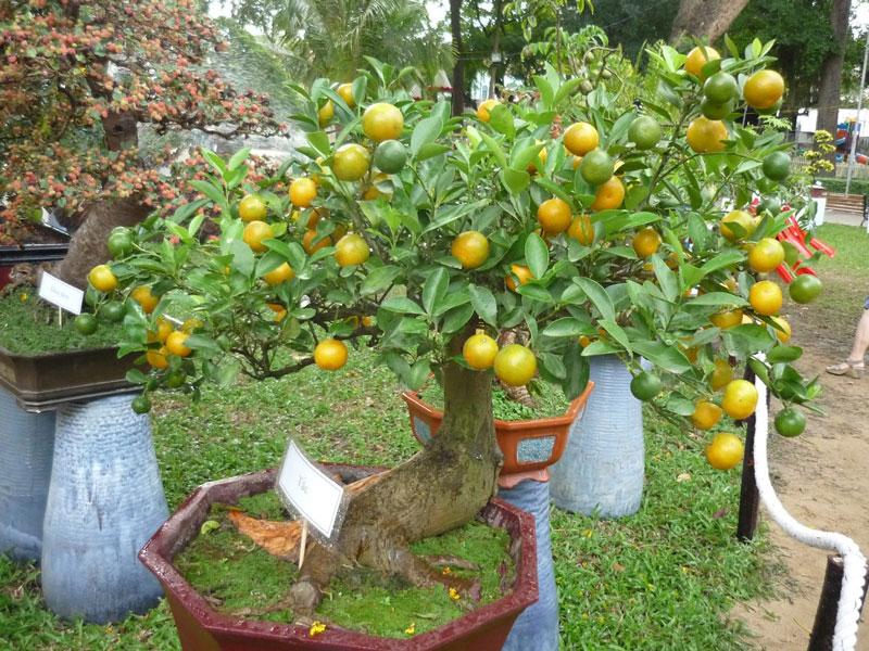 Cây quất (tắc) là biểu tượng của may mắn, sung túc nên được rất nhiều gia đình chọn làm cây cảnh chưng trong nhà.