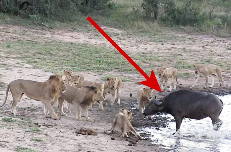 Đàn sư tử bất lực trước trâu rừng.