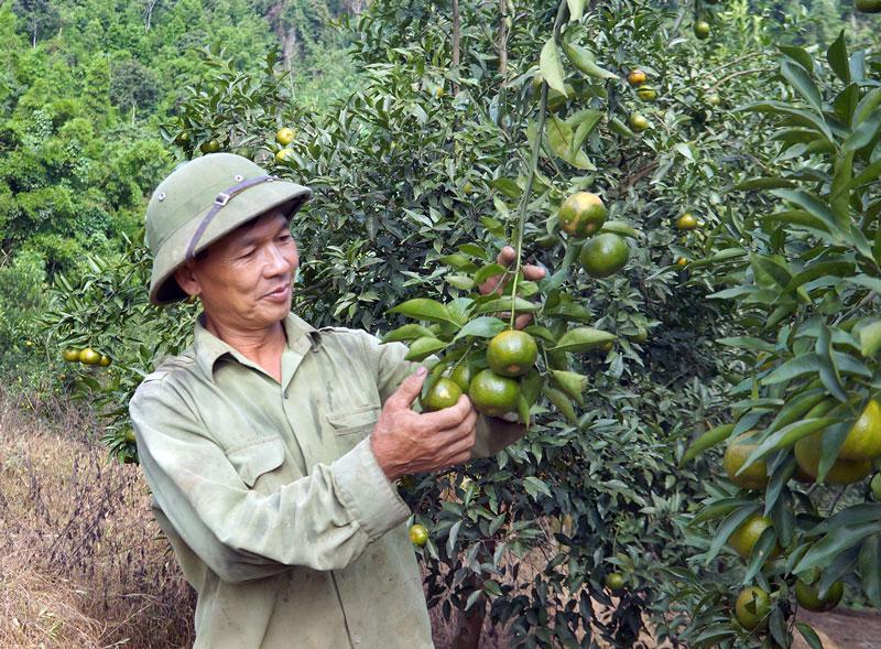 Quýt là loại cây ưu ánh sáng, thích hợp phát triển ở nhiệt độ từ 23 - 29 độ C. Ảnh: Baobackan.