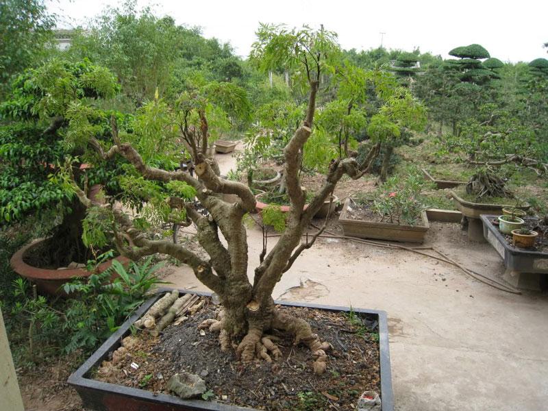 Cây đinh lăng cũng được trồng như cây cảnh. Ảnh minh họa.
