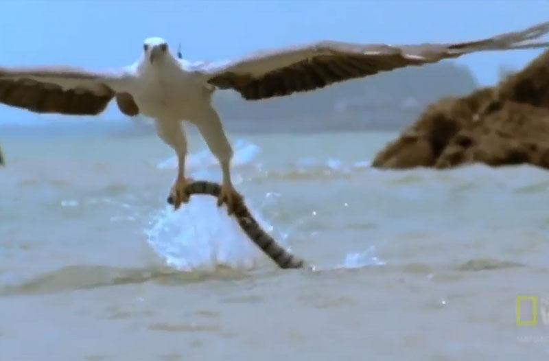 Đại bàng săn rắn biển.